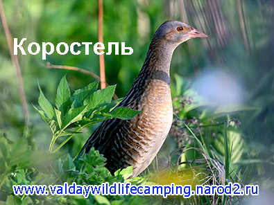 коростель, дергач, дергачь, птица издает звук крек крек, кто трещит в траве, какая птица трещит в траве