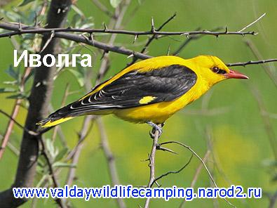 желтая птица, какая желтая птица в лесу, что за птица в поле желтая, желтая птица средней полосы, иволга
