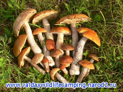 подосиновики фото, подберезовики фото, белый гриб фото, как собрать грибы, где собрать грибов, где набрать грибов, благородные грибы