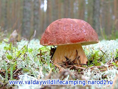 грибы на валдае, белые грибы валдай
