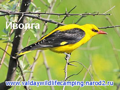 редкие птицы, иволга, валдайская природа