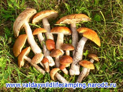 грибы на валдае, тихая охота валдай, на валдай с палаткой,